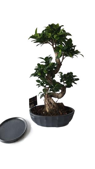 Bonsai Ficus nitida in vaso ovale