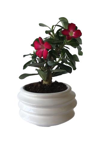 Adenium (rosa del deserto)