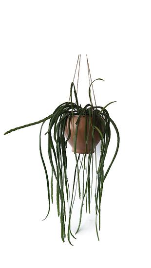 Lepismium bolivianum in vaso pensile