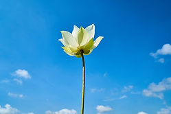 lotus-2314080_640(1).jpg