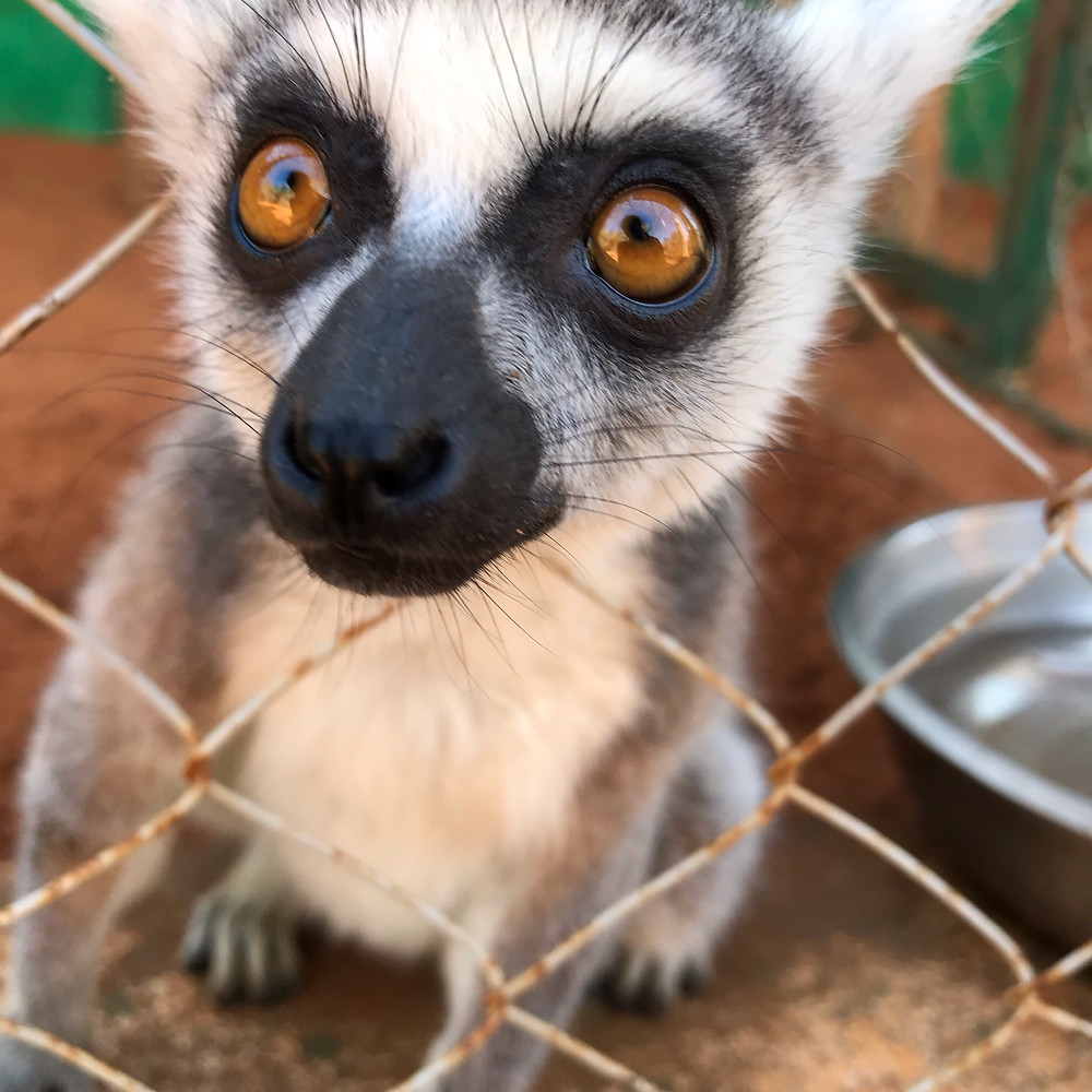 Confiscated illegally kept ring-tailed lemur, now at the LRC.