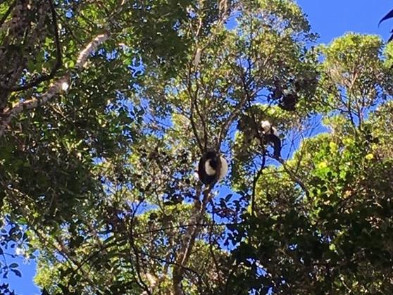 Varecia mating in the treetops