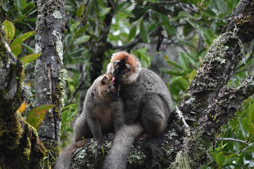 Brown lemurs grooming