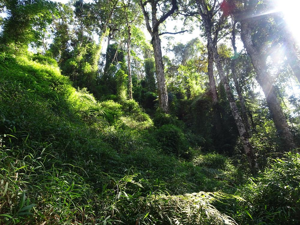 Bamboo forest in Mangevo, Blue territory.