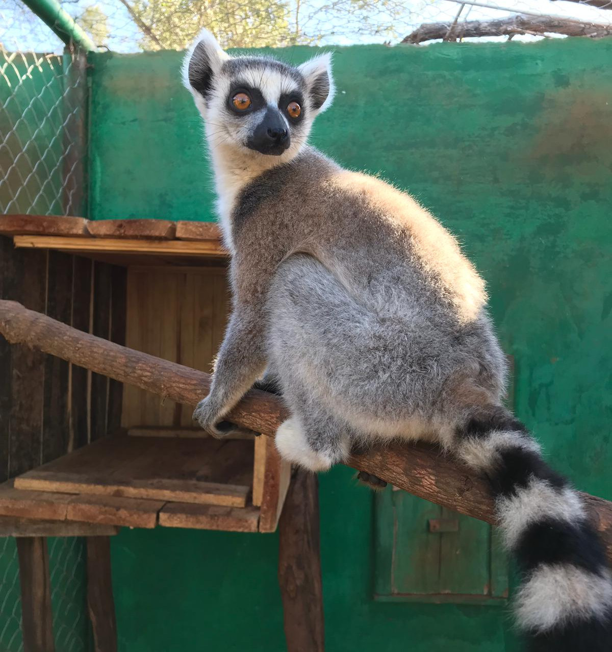 Ring-tailed lemur