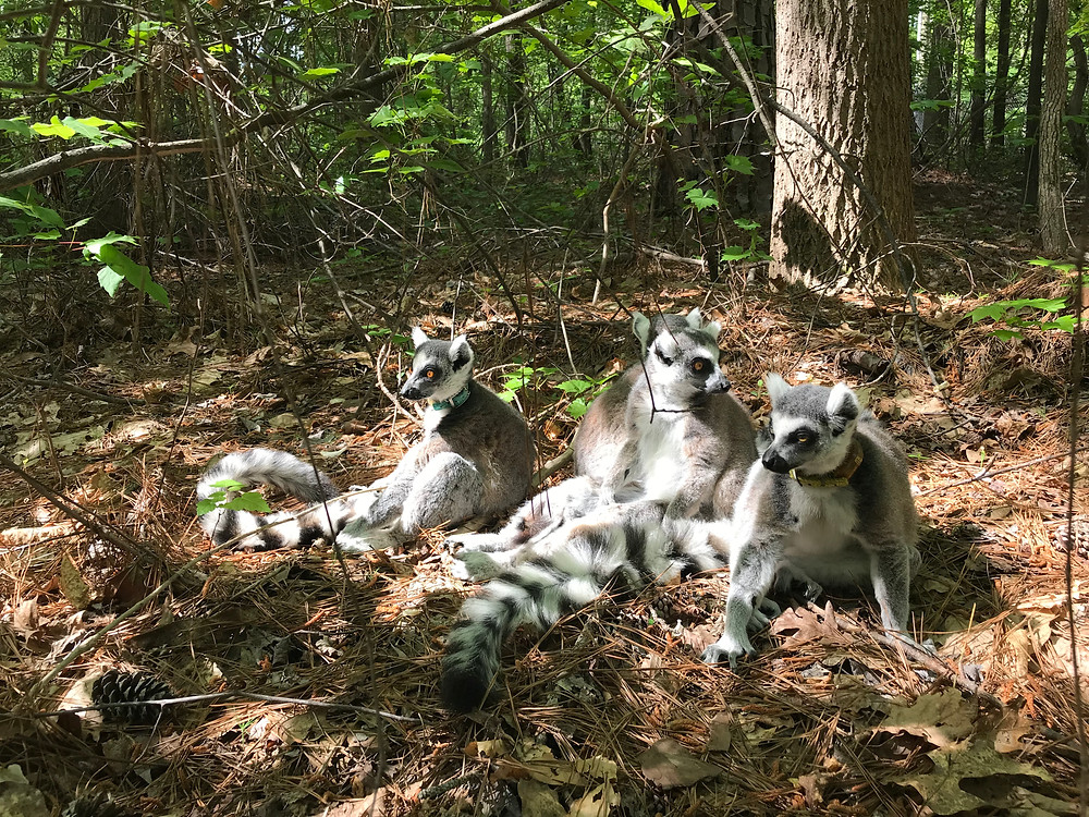 Ring-tailed lemurs sun bathing in one of DLC's outdoor enclosures