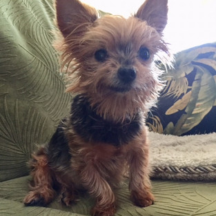 Karen Devoid intoduces Stella. She is my 3.5 lb Yorkie, 12 years old. She's my fur-baby, love of my life.