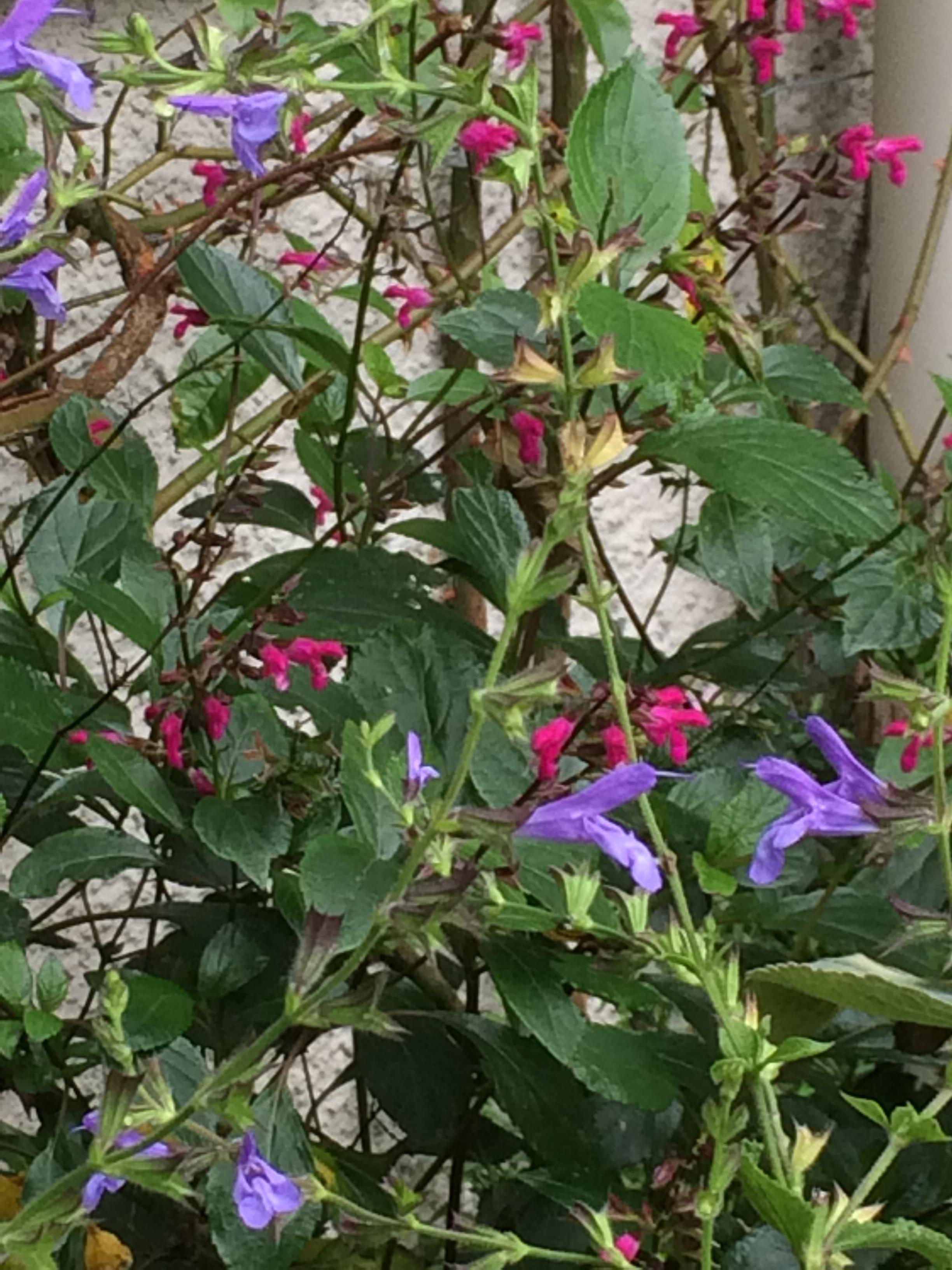 Salvia chipensis