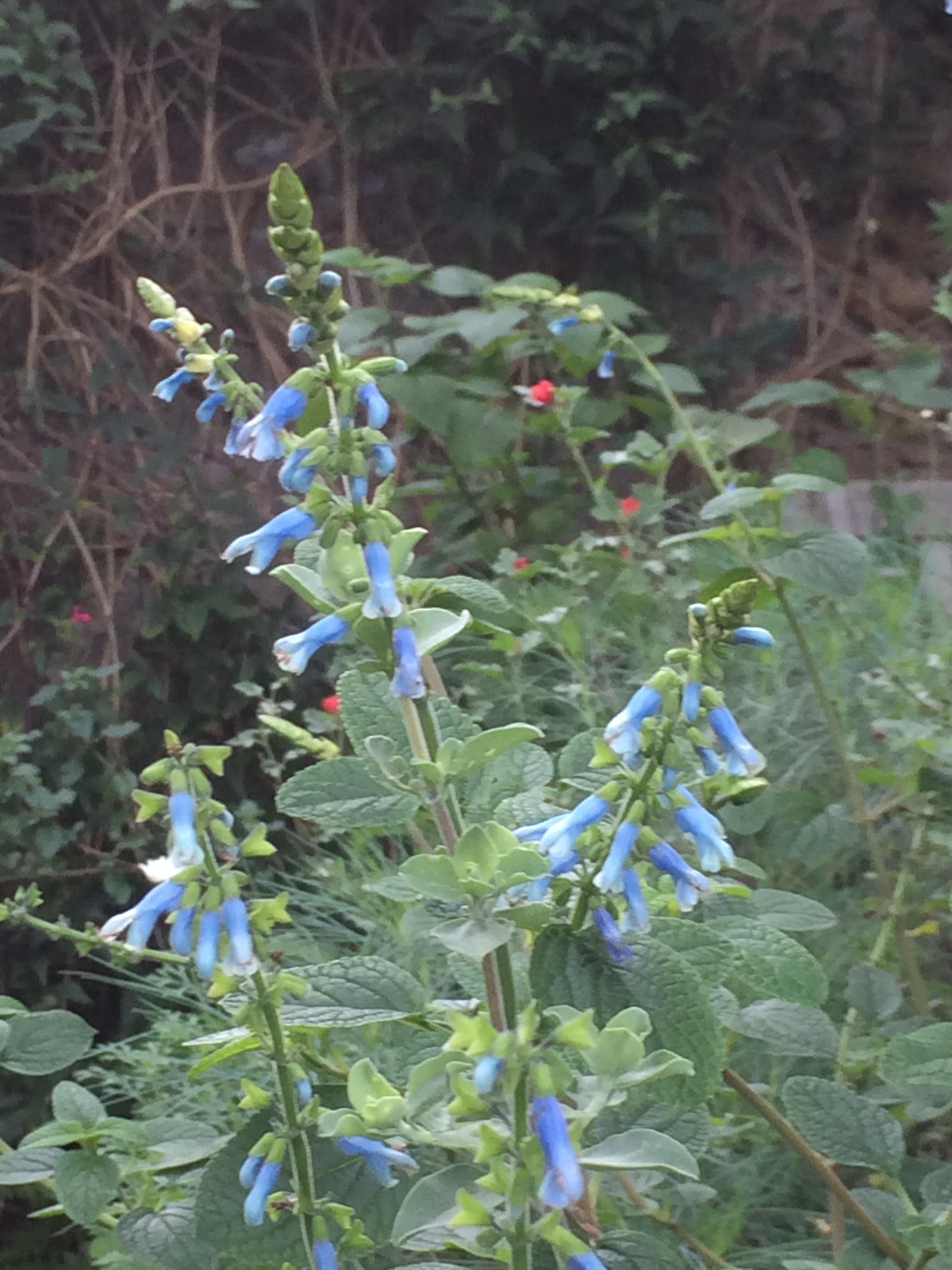 Salvia bullalata pale form