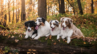 Australian shepherds_edited_edited.jpg