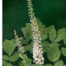 3 Black Cohosh Plants
