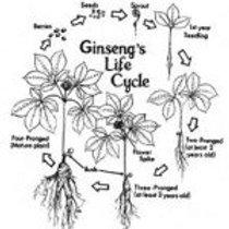 Ginseng Seed, 1 oz