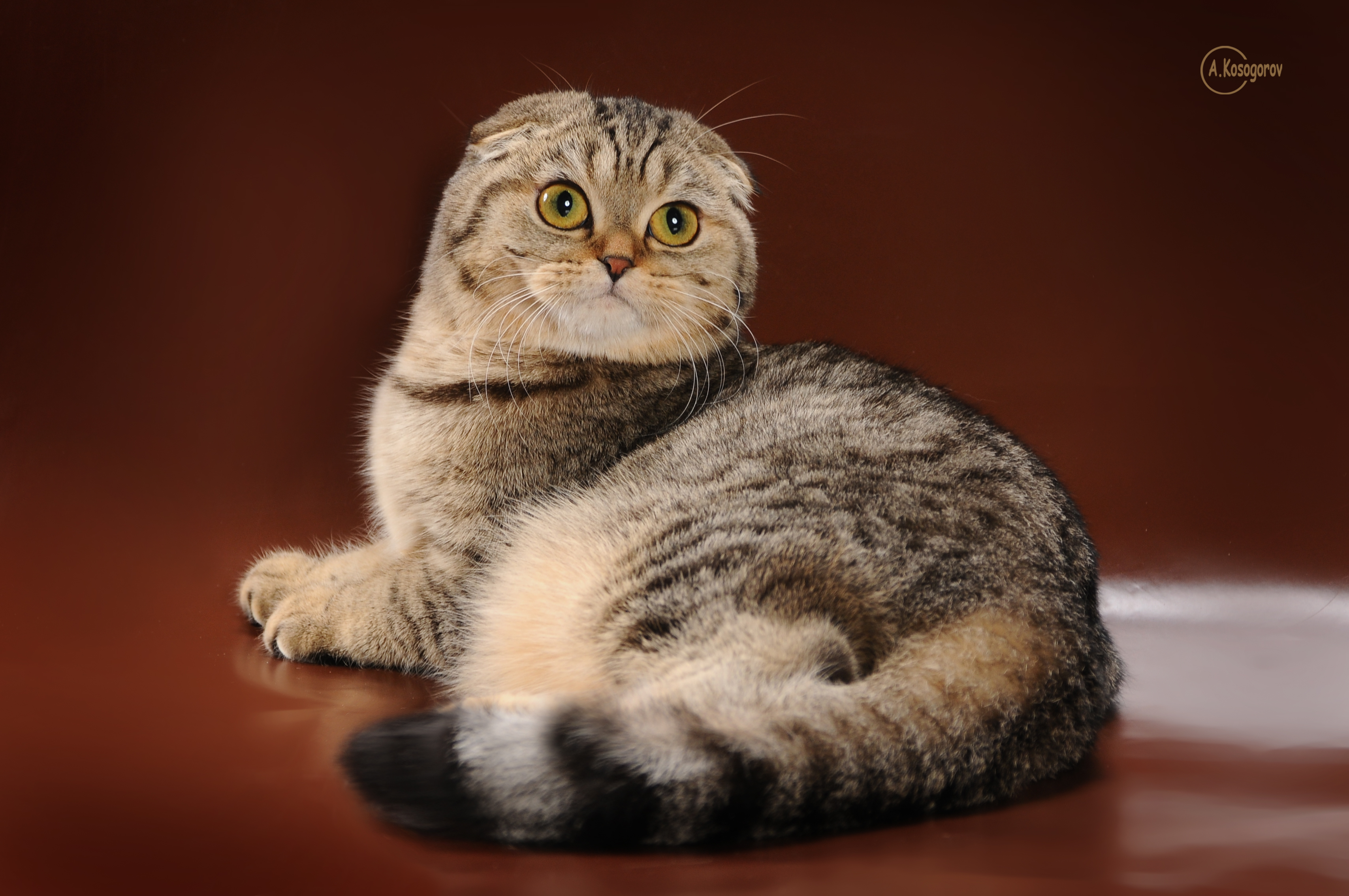 Фото настоящей шотландской вислоухой кошки
