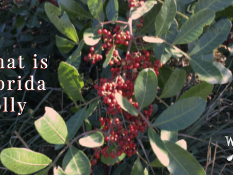What is Florida Holly?