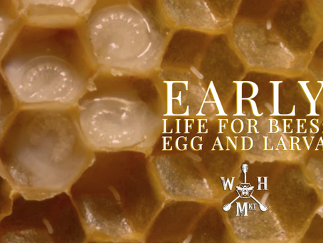 Early life for bees: egg and larva
