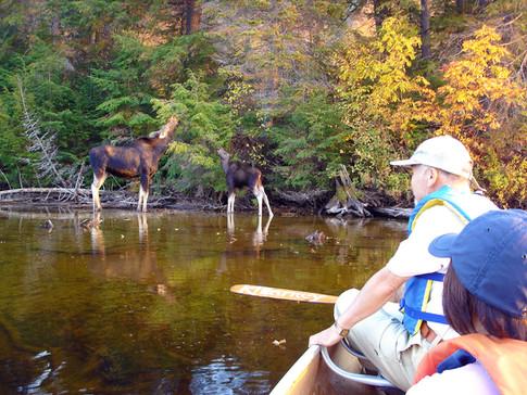 ムースの親子が水辺でお食事。
