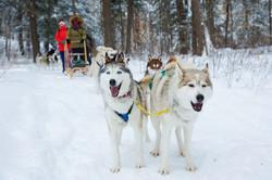 Dog-Sledding-(1)s