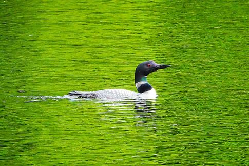 オンタリオの州鳥、ルーン(アビ)