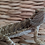Thumbnail: Juvenile Male Bearded Dragon