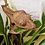 Thumbnail: Juvenile Female Dalmatian Crested Gecko
