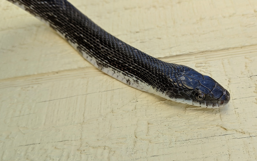 Adult Female Eastern Black Rat Snake