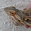 Thumbnail: Adult Male Bearded Dragon