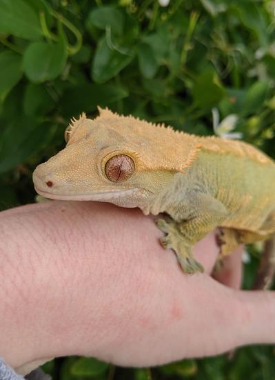 Female Harlequin Crested Gecko