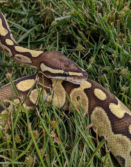 Lesser Adult Male Ball Python