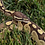 Thumbnail: Lesser Adult Male Ball Python