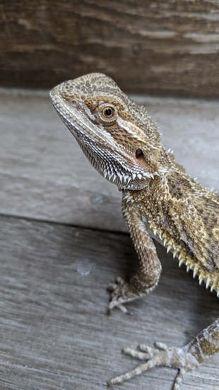 Juvenile Male Bearded Dragon