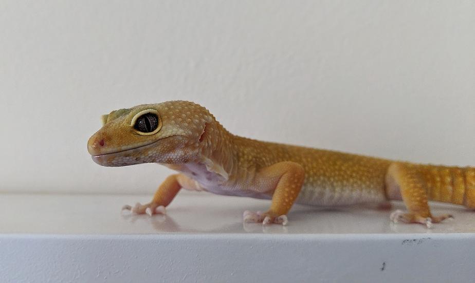 Female Hypo Leopard Gecko
