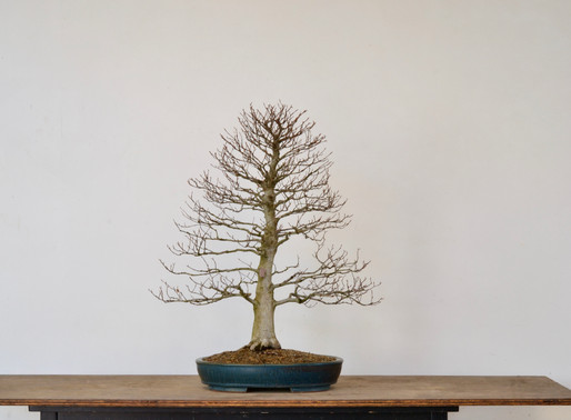 Subtle Improvements to a Japanese Beech