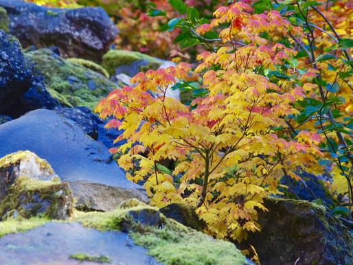Vine Maples in Fall Splendor