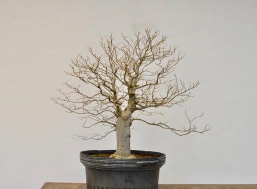 Picking a Front on a Chinese Hackberry