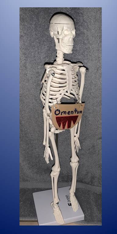 The omentum: a soft, fat pad, part of the immune system and the lymphatic system.