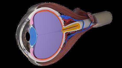 cross section eyeball.png
