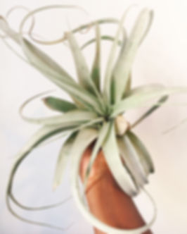 hand holding large xerographica air plant