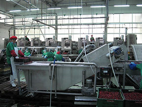Cherry Processing at a plant