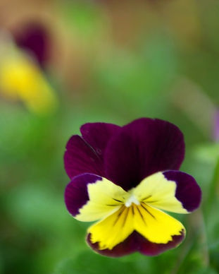 Purple%20and%20Yellow%20Pansies%20_edite