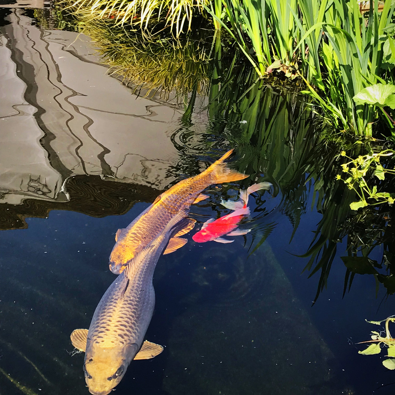 Koi fish pond at Bartholomew Barn in West Sussex