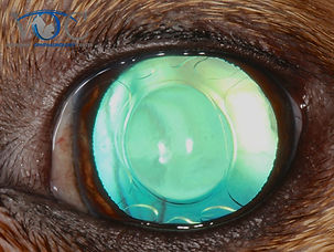 Veterinary Ophthalmology Center, Pet eye doctor in Orlando Florida, Winter Park FL, Oviedo FL, Cocoa FL, Sanford FL and Southeast Orlando and surrounding areas