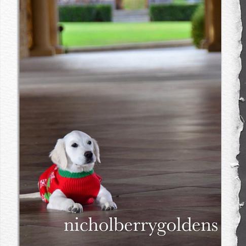 SO ADORABLE!!!! #nicholberrygoldens #englishgoldens #englishgoldenretriever #englishgoldenretrievers #englishgoldenretrieverpuppy #goldenret