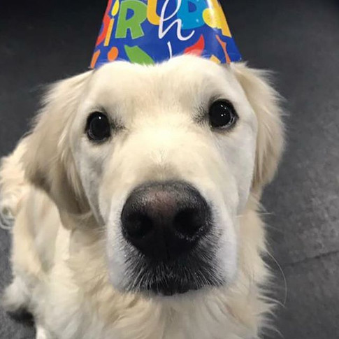 Happy (belated) Birthday Chase!!!! Such an earnest face this sweet boy has!!❤️🐾❤️ #nicholberrygoldens