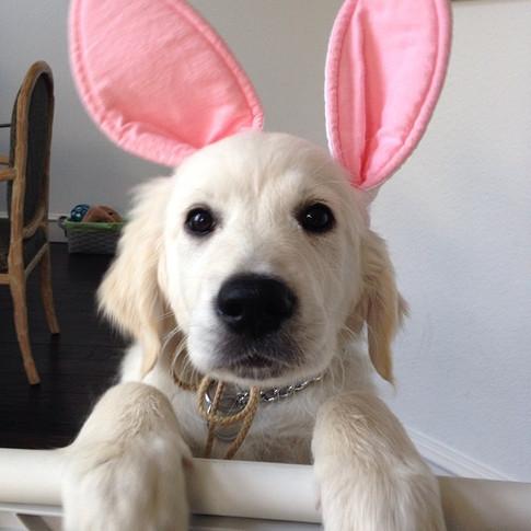 Happy Easter!!! #nicholberrygoldens #englishgoldens #englishgoldenretriever