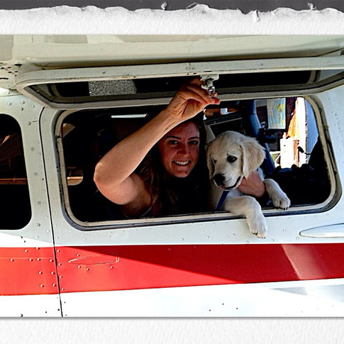 Flynn on his first airplane ride!!! #englishgoldenretrieverpuppy #englishgoldenretriever  #nicholberrygoldens  #goldenretrieverpuppy