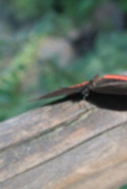 Iguazu Falls Butterfly