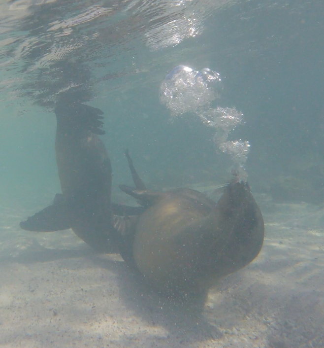 Galapagos Islands swimming with Sea Lions