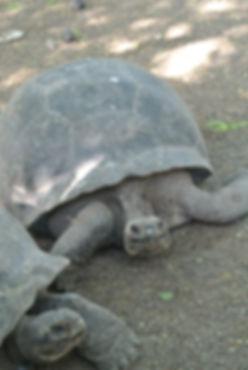 Galapagos Tortoise Galapagos Islands