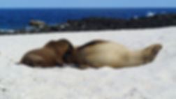 Sea Lions Galapagos Islands
