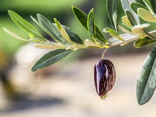 Zašto je maslinovo ulje dobro za srce i krvne žile?